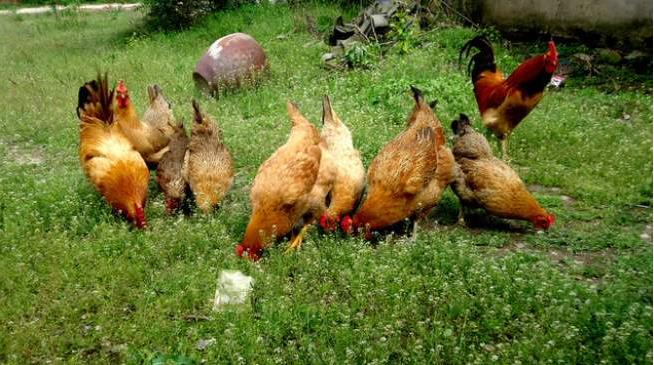鸡粪未腐熟危害有哪些?
